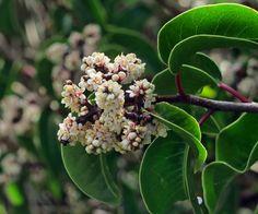 Rhus ovata—sugar bush. Regional Parks Botanic Garden Picture of the Day. 25 Apr 17