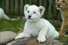leão albino filhote
