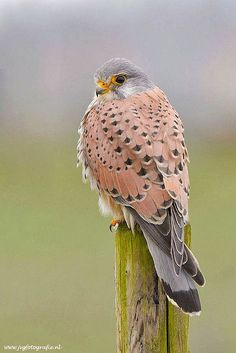 Kestrel/ Torenvalk by Johan van Gool on Crécerelle d'Amérique Pretty Birds, Love Birds, Beautiful Birds, Animals Beautiful, Cute Animals, Small Birds, Funny Animals, Beautiful Suit, Birds 2