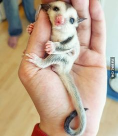 Adorable baby sugarglider.