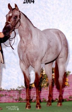 Strawberry Roan, Varnish Roan Appaloosa. (take a GOOD look at the horse's face, because it has the markings of a Varnish Roan Appaloosa. The fact that it is also a Strawberry Roan with the Varnish Roan [true roans and varnish roans are completely different patterns] gene is a real prize).