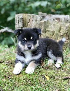 #Pomsky #Charming #PinterestPuppies #PuppiesOfPinterest #Puppy #Puppies #Pups #Pup #Funloving #Sweet #PuppyLove #Cute #Cuddly #Adorable #ForTheLoveOfADog #MansBestFriend #Animals #Dog #Pet #Pets #ChildrenFriendly #PuppyandChildren #ChildandPuppy #LancasterPuppies www.LancasterPuppies.com