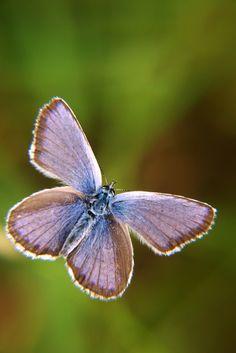 butterfly+-+