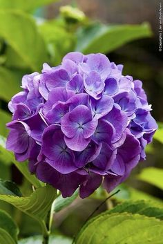 Amazing Flowers , Blue almost purple Hydrangea Amazing Flowers, My Flower, Purple Flowers, Flower Power, Beautiful Flowers, Purple Hydrangeas, Hydrangea Colors, Cactus Flower, Exotic Flowers