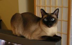 Seal Point Siamese. (My favorite kind of Siamese! <3)