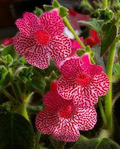 Kohleria 'Sunshine' flowers