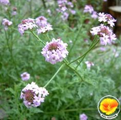 Lilac Verbena - showy flower, attracts butterflies.
