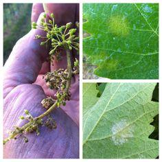 grappoli e foglie colpiti da peronospora il 4 giugno 2012