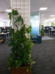 Climbing plants just installed to grow up pillars at Andover office for Health & Wellbeing programme. Indoor Climbing Plants, Hanging Plants, Indoor Plants, Interior Design Plants, Office Interior Design, Plant Design, Plant Wall, Plant Decor, Vertical Garden Planters