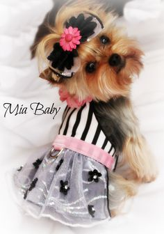 Pink Yorkie, Mia, Bark! What's in your closet. dog clothing