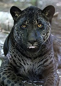 Melanistic jaguar - Melanism is an overabundance of black pigment in animals and is actually the opposite of albinism and even more rare.   ...........click here to find out more     http://googydog.com