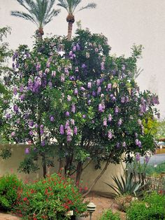 For partially shaded areas, consider the Texas Mountain Laurel (Sophora secundiflora). It sports purple/blue wisterialike blooms in the spring and retains its handsome evergreen foliage the rest of the year.