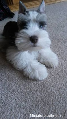 Ranked as one of the most popular dog breeds in the world, the Miniature Schnauzer is a cute little square faced furry coat. Schnauzer Mix, Schnauzer Grooming, Miniature Schnauzer Puppies, Animals And Pets, Baby Animals, Funny Animals, Cute Animals, Cute Puppies, Cute Dogs