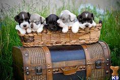Schnauzer, Miniature Schnauzer, Pets Animals, Animals Dogs, Schnauzer ... Miniature Schnauzer Utah