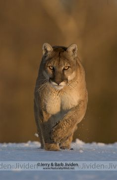 Mountain Lion.  (KO) Gorgeous golden eyes and an incredibly thick and elegant coat of fur! Beautiful!