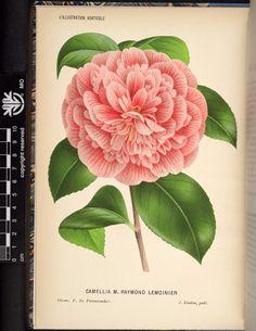Camellia M. Raymond Lemonier, v.31 (1884) - L'Illustration horticole : - Biodiversity Heritage Library