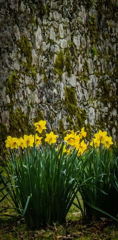 http://www.jamesatruett.com -- A chorus line of wild daffodils sings in the afternoon sun outside moss-laced rock walls of the historic Coole Park, the former Lady Gregory Estate in County Galway, Ireland.