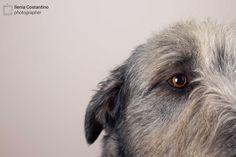 Irish Wolfhound by Ilenia Costantino #animals #dogs #irishwolfhound