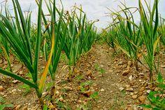 Po tomto KŔMENÍ rastú všetky priesady oveľa rýchlejšie: Dajte im to v marci/apríli a ešte nikdy ste nevideli toľko úrody! Planting Garlic, Planting Vegetables, Growing Vegetables, Garlic Farm, Garlic Chives, Grow Garlic, Garlic Seeds, Herb Seeds, Edible Plants
