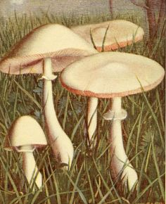 Lepiota pudica   Illustration taken from 'Nouvel Atlas de Poche des Champignons' by Paul Dumee. Published 1911 by Leon LHomme.  The LuEsther T Mertz Library, the New York Botanical Garden