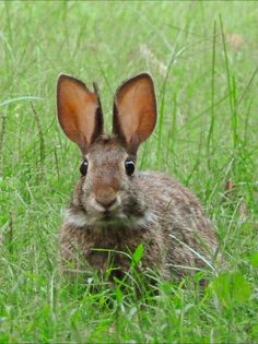 Hinky, my eastern cottontail rabbit friend. He's so cute, i had to share