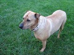VIDEO, CLICK to PLAY. A Rhodesian Ridgeback Sharpei Pet Dog. Original YouTube link: http://www.youtube.com/watch/?v=0JUXNcS-KvQ
