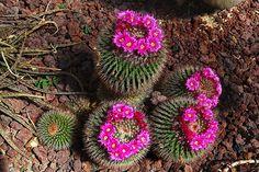 cactus flowers pictures | Amazing Cactus Flowers Amazing Cactus Flowers – PHOTO-BUGS.com