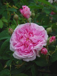 Damask Rose: Rosa 'Ispahan' AKA 'Pompon des Princes' (unknown origin, before 1827)
