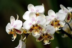 Types of Orchids Moth Orchid, Phalaenopsis Orchid, Bright Flowers, Large Flowers, Ground Orchids, Plante Carnivore, Miniature Orchids, Types Of Orchids, Orchidaceae