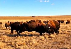 """""""Friendly Tussle"""" at the Duff Ranch in Scott City Kansas, on the Western Vistas Historic Byway."""