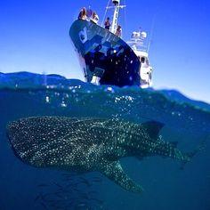 Beautiful Whale Shark #EarthPix Photography by @JuanSharks #Padgram