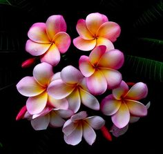 Don't you want these wonderful flowers in your garden. Frangipani They come is so many beautiful colors! Tropical Flowers, Hawaiian Flowers, Flores Plumeria, Plumeria Flowers, Pink Flowers, Plumeria Flower Tattoos, Hibiscus Bouquet, Red Orchids, Art Flowers