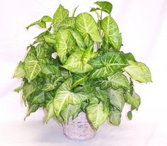 Nephthytis...Arrowhead vine plant Light: Bright light but no direct sun.  Water: Spray frequently to maintain high humidity. Keep soil continuously moist throughout spring and summer Fertilizer: Feed regularly with liquid fertilizer throughout growing season. Propagation: root readily from stem cuttings.