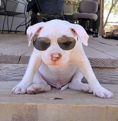 Pit Bull too cute for words #pitbull