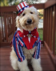 """My Goldendoodle named """"Sam"""" with this unbelievable smile wearing his handmade Uncle Sam costume for Halloween! Got ta love it! Goldendoodle Names, Goldendoodles, Labradoodle, Uncle Sam Costume, Black Labs Dogs, Pet Parade, Dog Tutu, Boston Terrier Dog, Pet Costumes"""