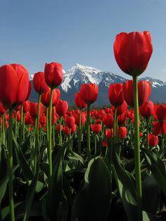Agassiz Tulip Festival - Seabird Island, BC, Canada--I'm in love Red Tulips, Tulips Flowers, Daffodils, Pretty Flowers, Spring Flowers, Tulips Garden, Tulip Festival, Felder, Sea Birds