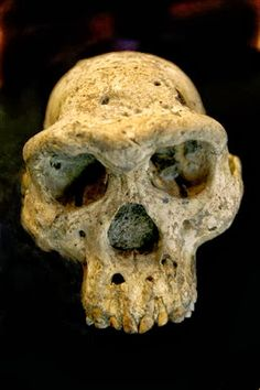The discovery of a 1.8-million-year-old skull of a human ancestor buried under a medieval Georgian village provides a vivid picture of early...