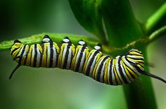 A Monarch Caterpillar. Photographed in Alliance, Ohio by Sandi Bohaychyk.