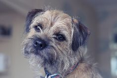 Willow, Border Terrier from handsomedogs