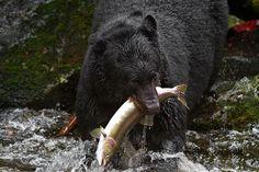 Alaska, Anan creek bear, Visionsbykathy.com