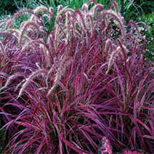 Fireworks Fountain Grass   Grasses   Annual Plants   Jung Garden and Flower Seed Company