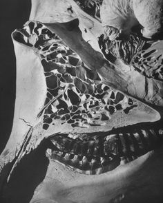 elephant's skull skeletal structure- andreas feininger
