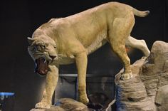 Boston Museum of Science | Mammoths and Mastodons: Titans of the Ice Age | Sabertooth tiger, profile view | by Chris Devers