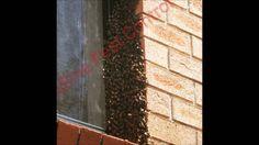 Bees Sydney 12 08 15