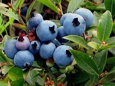 Blueberry spheres of comfort - pies/tarts/pancakes. Canadian Cuisine, Nova Scotia, Blueberry, Tarts, Pancakes, Oxford, Canada, Smile, Mince Pies