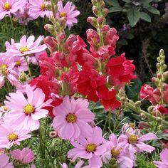 Pflegeleicht und blütenstark: Farbenfrohe Löwenmäulchen gehören seit vielen Jahrzehnten landauf und landab zu den beliebtesten Sommerblumen. Hier finden Sie Tipps zu Pflanzung und Pflege.
