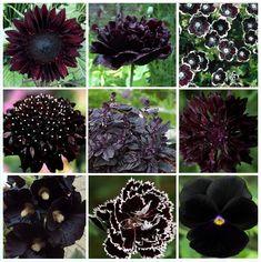 Gothic Flowers, Dark Flowers, Unusual Flowers, Beautiful Flowers, Beautiful Pictures, Flower Seeds, Flower Pots, Cactus Flower, Flower Diy
