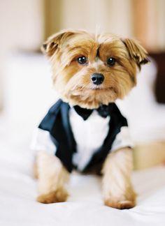 yorkie in black tie