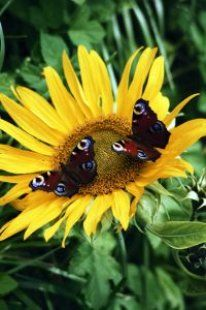 sunflower with butterflies . annuals attract beneficial insects