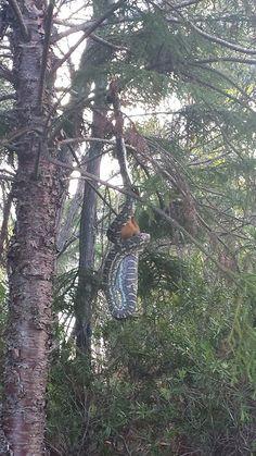 Python eating bushtail possum in Australia.